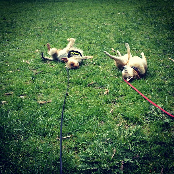 dogs frolicking in grass