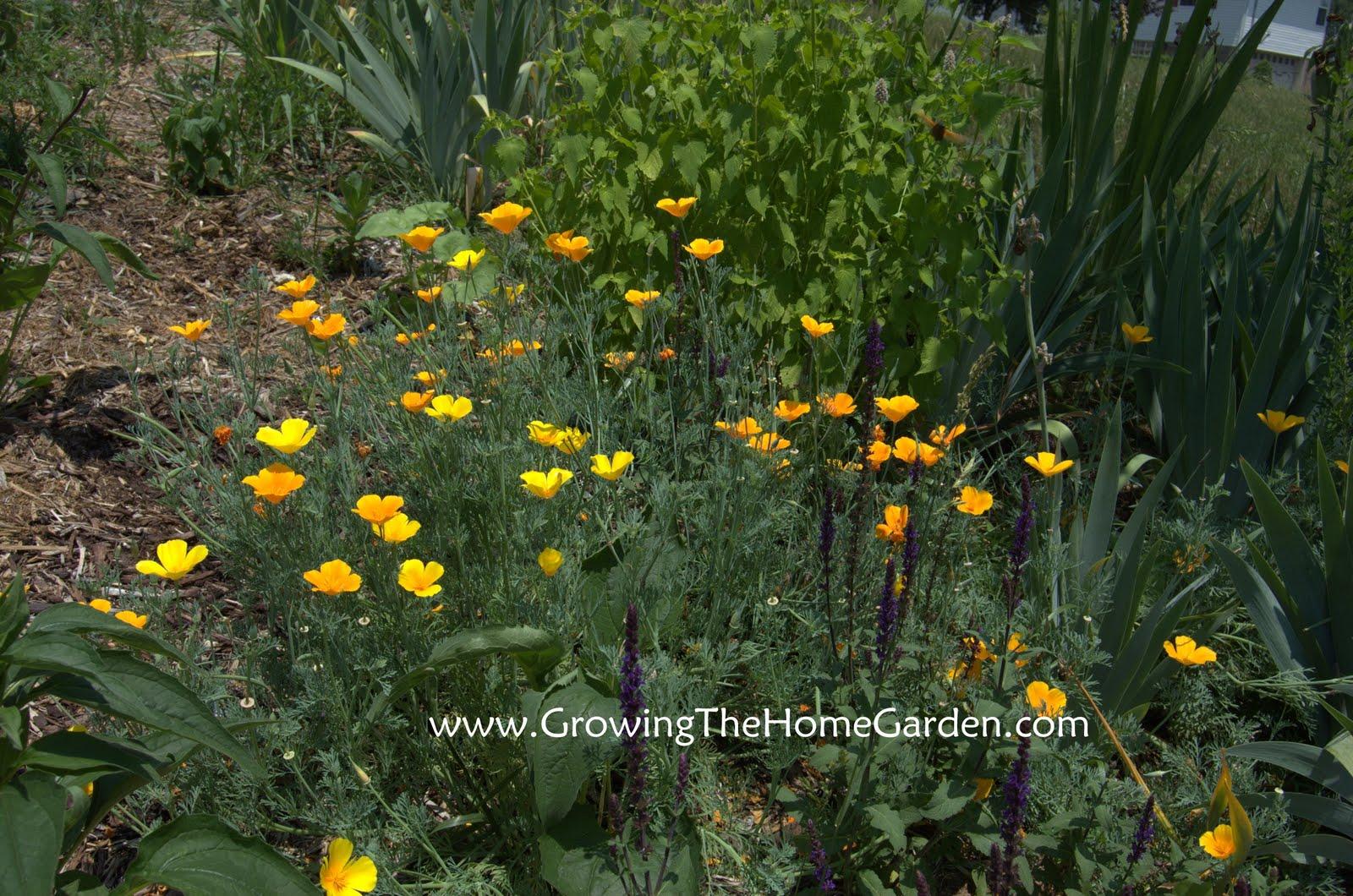 California Poppies Eschscholzia Californica Growing The Home Garden