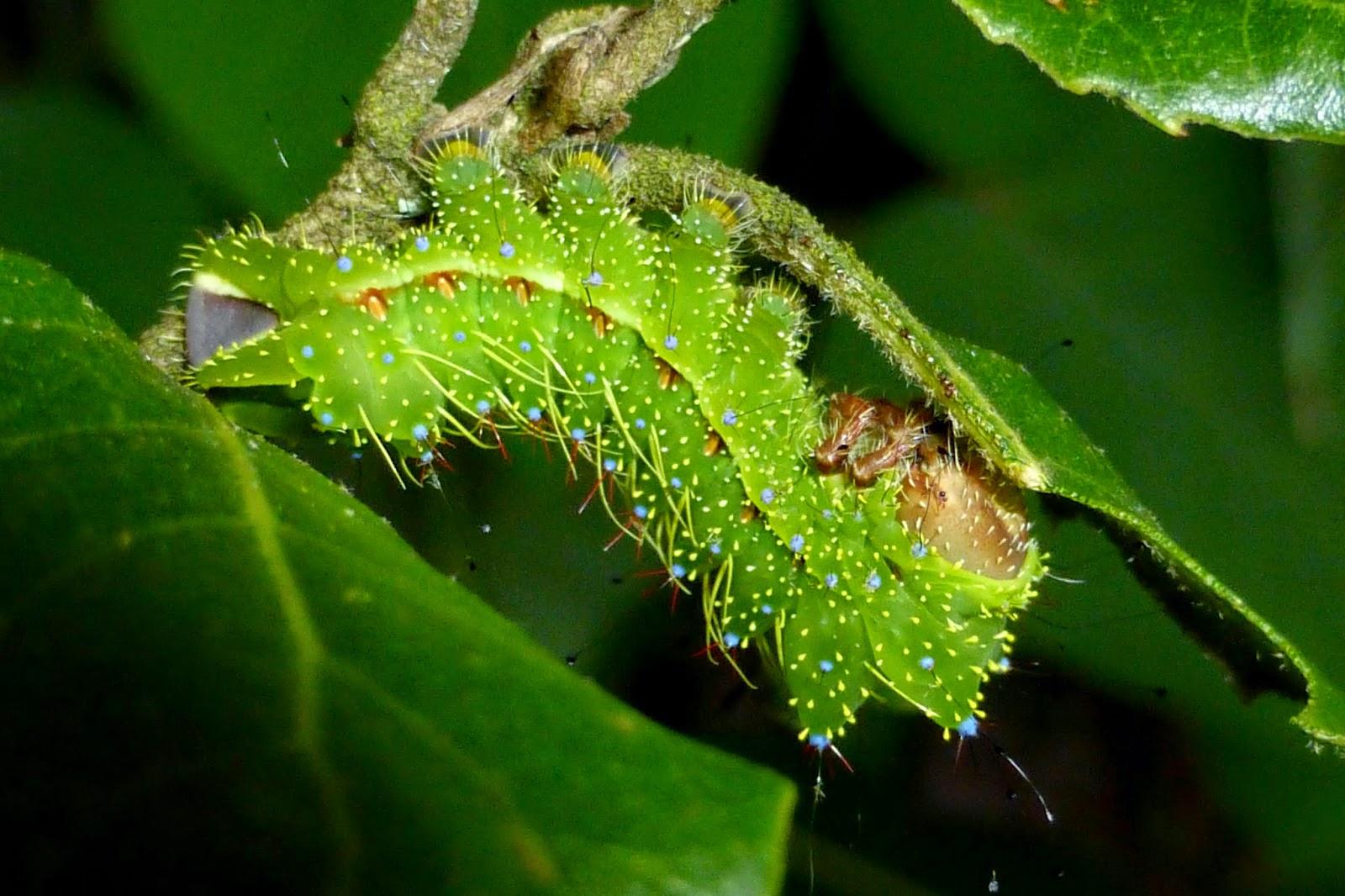 Copaxa lavenderohidalgensis caterpillar