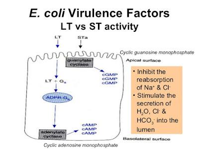 một ETEC có thể sinh ra một hoặc nhiều enterotoxin. Có 2 loại: loại không chịu nhiệt (LT I, LT II) và loại chịu nhiệt (STa, STb)
