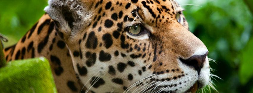 Jaguar the big cat facebook cover