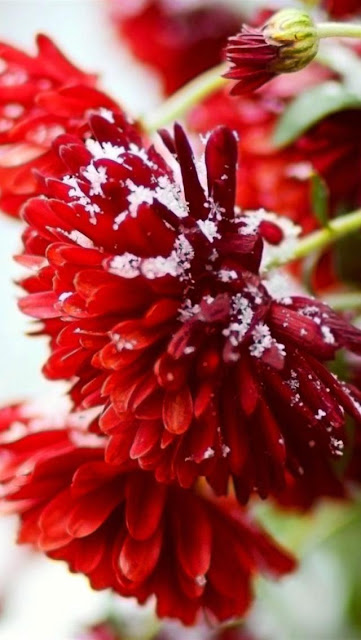 Snow Covered Red Flowers HD Wallpaper for iphone