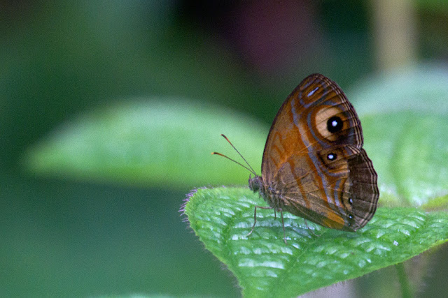 A photograph of a glad eye bushbrown taken in Sinharaja, Sri Lanka