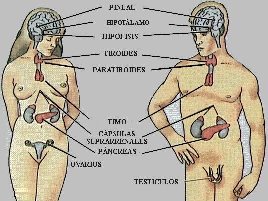 Sistema endocrino del cuerpo humano