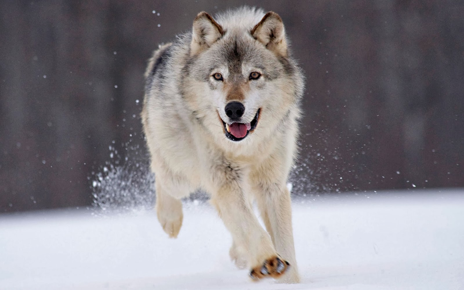 gray wolf minnesota