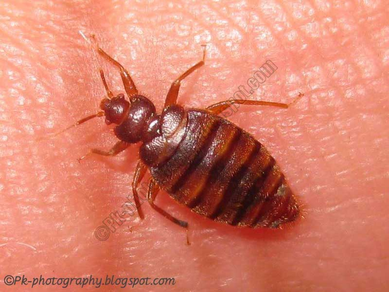 what do bed bugs look like nature cultural and travel