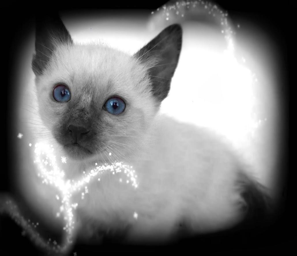 cat breeders ma