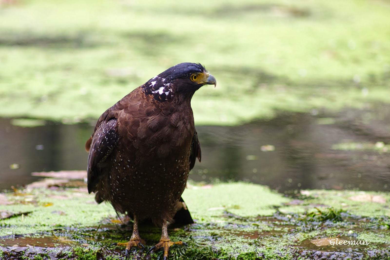 雞南山的大冠鷲-阿鷲。