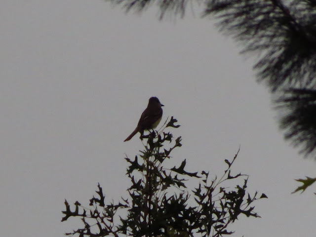 great crested flycatcher tree top one
