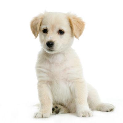 Labrador Retriever Puppies on Labrador Retriever Dog Puppy Puppies Photo