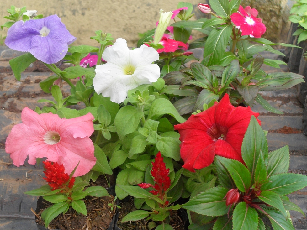 Pet nia floricultura amor perfeito for Petunie inverno