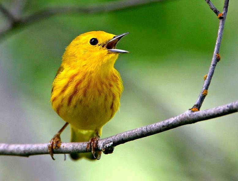yellow warbler dendroica petechia america   trend burung
