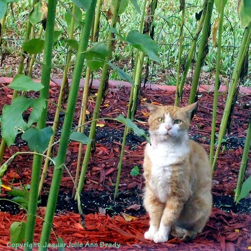 Orange Male Tabby Cat Sitting in my Sunflower Garden ~ JaguarJulie