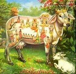 Cow ma