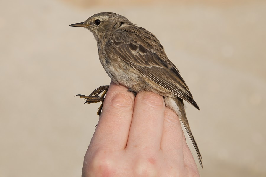 Water Pipit - coutelli