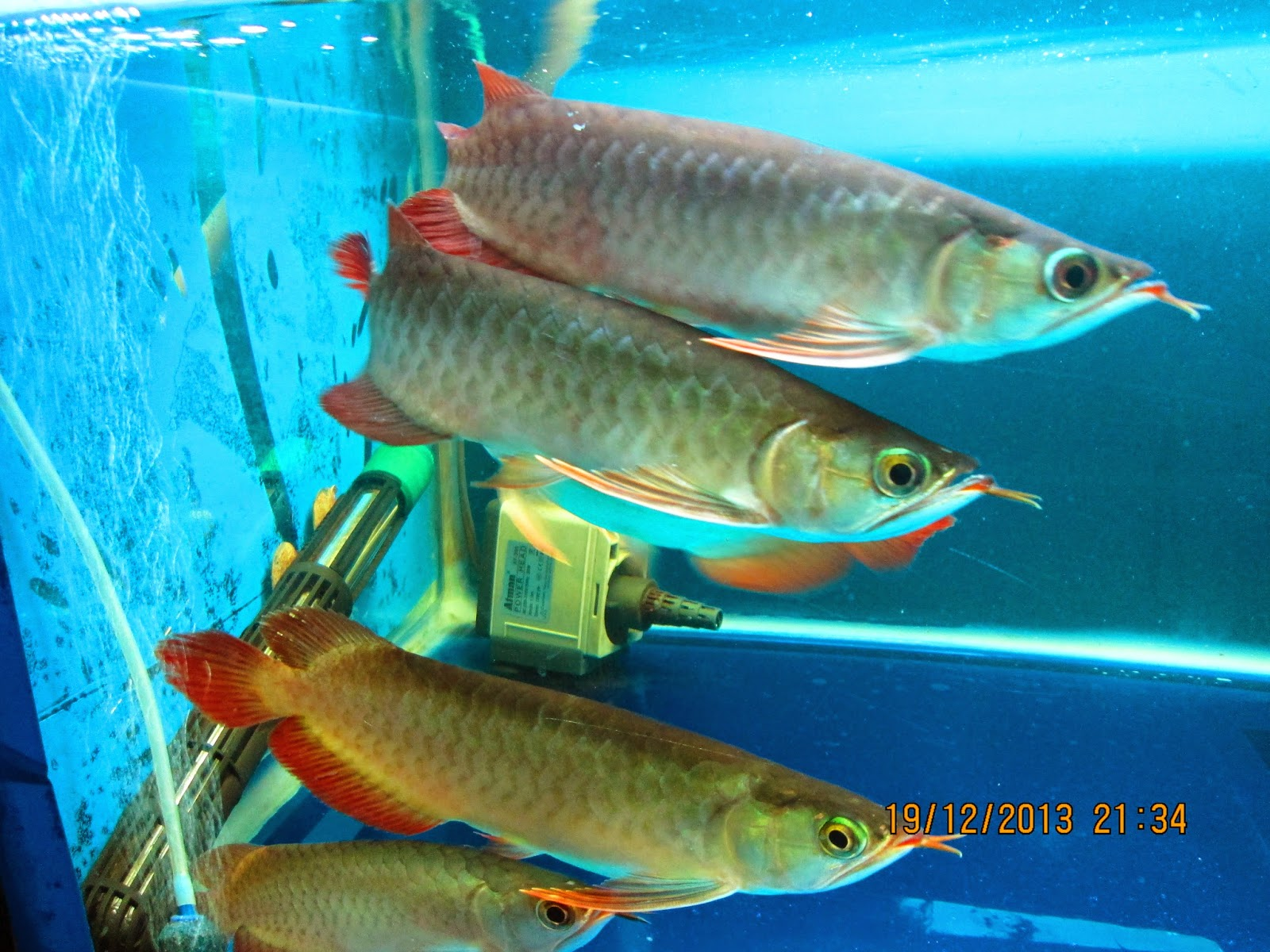 Arowana Keeping & Breeding in Aquarium: June 2014