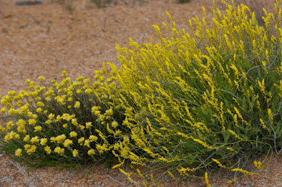 Yellow Plumes (Synaphea gracillima) and Conostylis sp