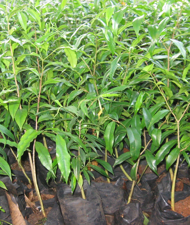 Menikmati keuntungan dari menanam pohon gaharu