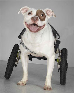 Monday Morning Smile - cute dog in wheelchair