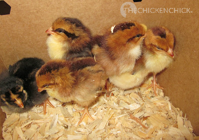 Baby chicks huddle together and cheep noisily when they are cold.