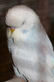Птицы в светлых смокингах