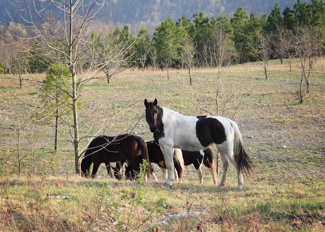 wild horses West Virginia
