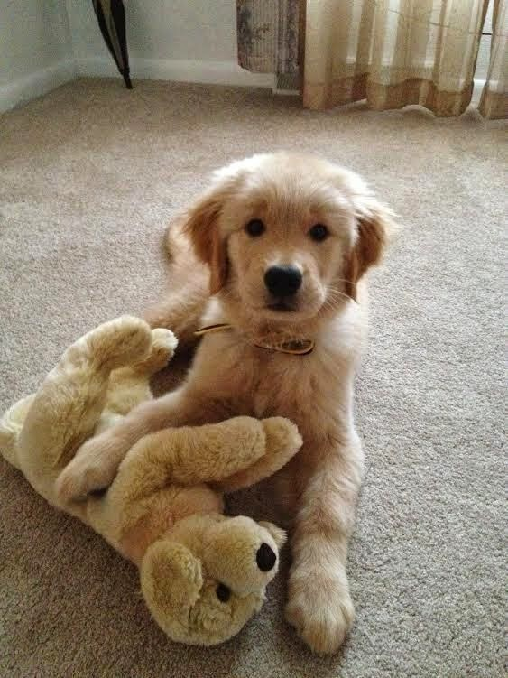 Cute Dog With His Toy Puppy