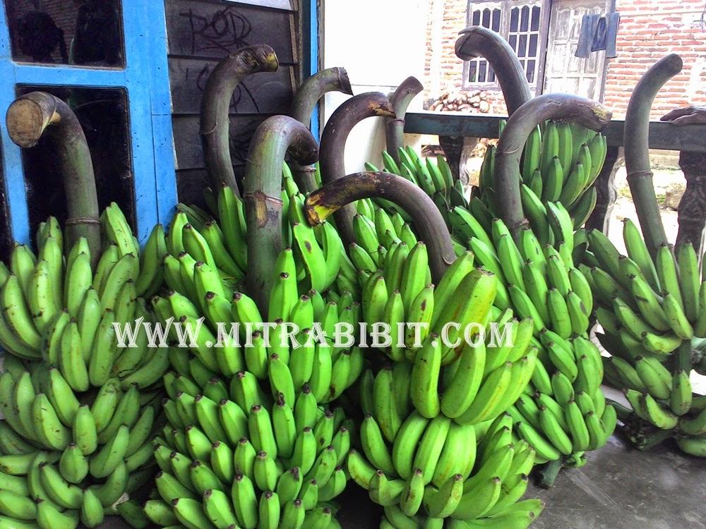 yang tinggi di pasar. Pisang-pisang komersial tersebut memiliki rasa ...