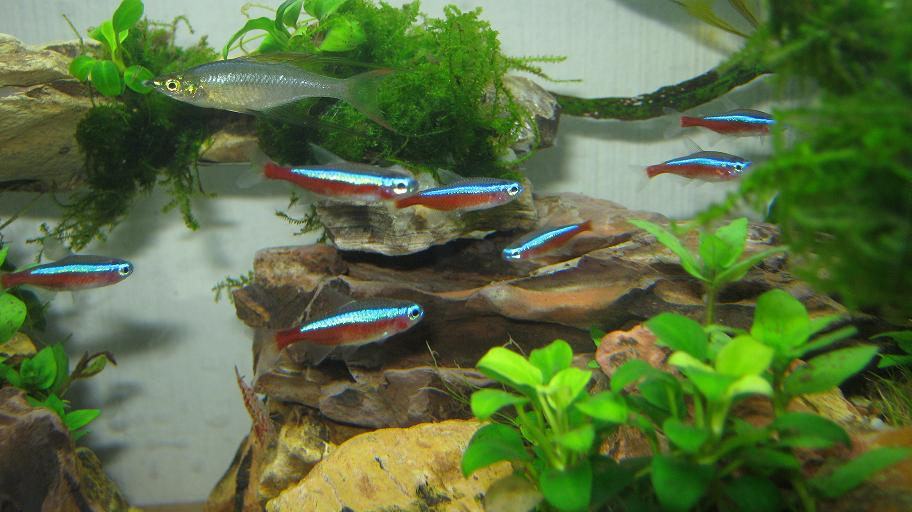 Tetra fish community tank 12 great community tank tetras for Good community fish