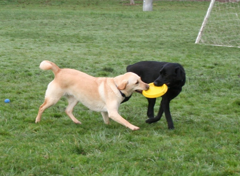 cabana and dagan pulling a bright yellow frisbee