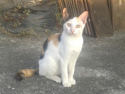 foto kucing kampung lucu 01