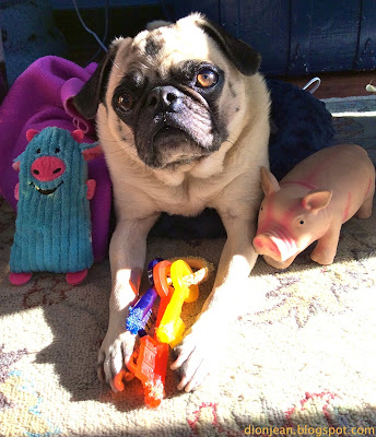 Liam the pug and his pig dog toys