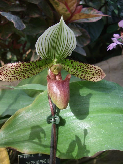 Paphiopedilum Supersuk