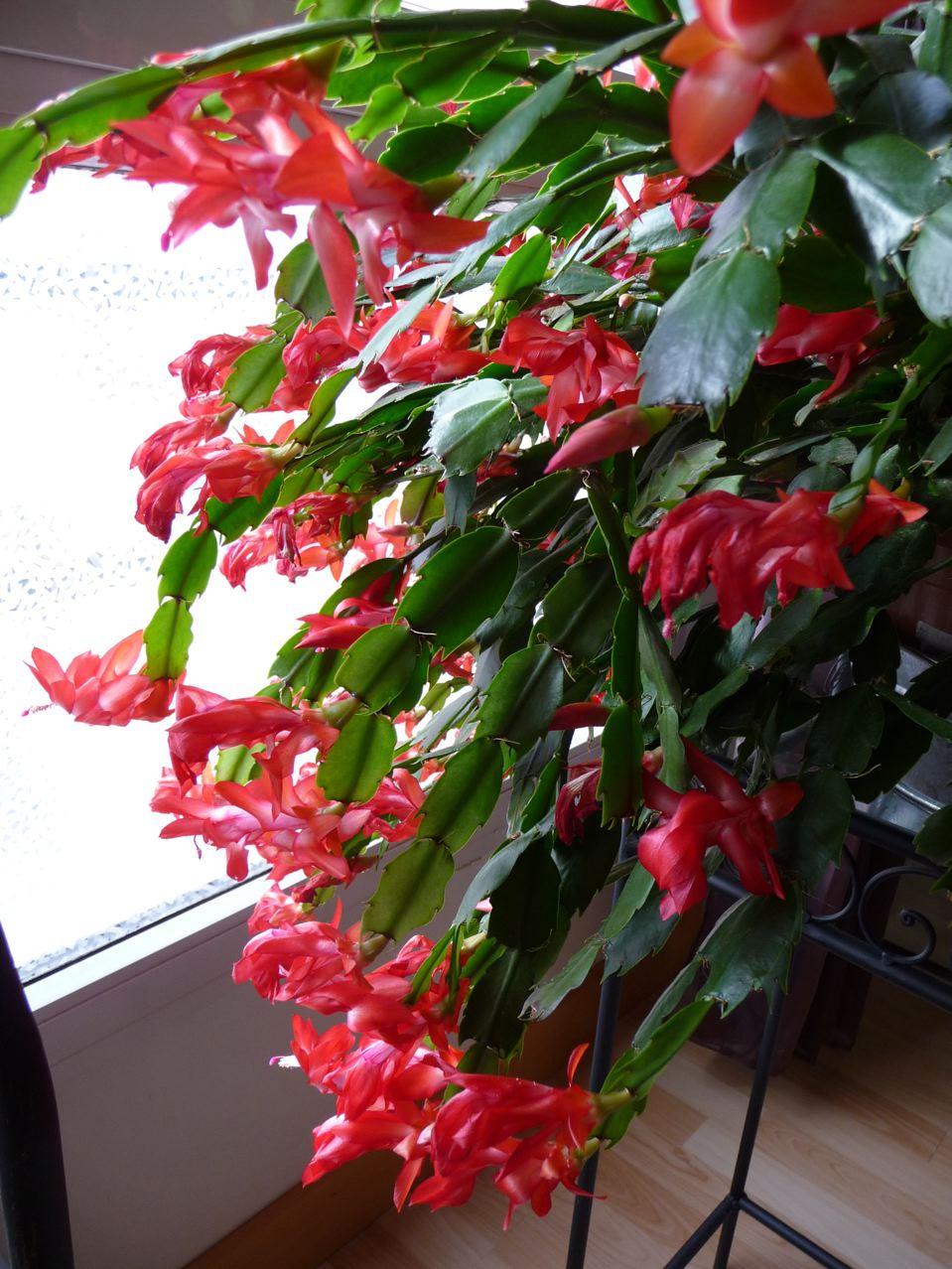 Plante De Noel Of Cultures Et Chabada Botanique Appliqu E Aux Adopt S Sans
