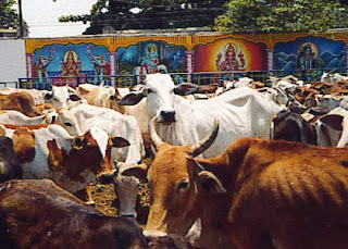 There are More Cows in India