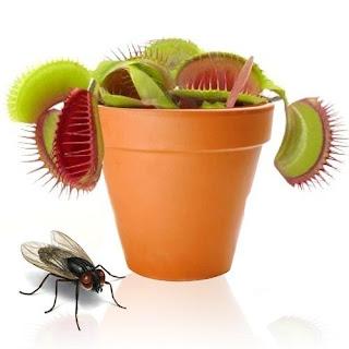 Planta Carnívora atrapa moscas Venus Fly Trap de Teletienda Outlet