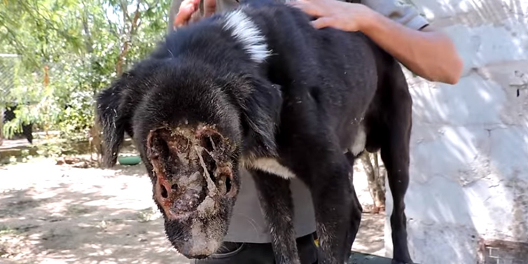 This Dog S Face Was Eaten By Maggots See The