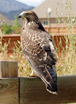 Photograph of Red Tail Hawk by Darla Sue Dollman
