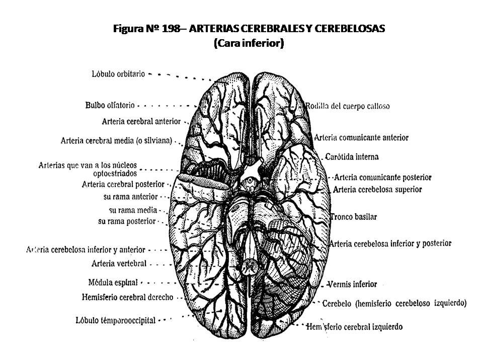 ATLAS DE ANATOMÍA HUMANA: 198. ARTERIAS CEREBRALES Y CEREBELOSAS ...