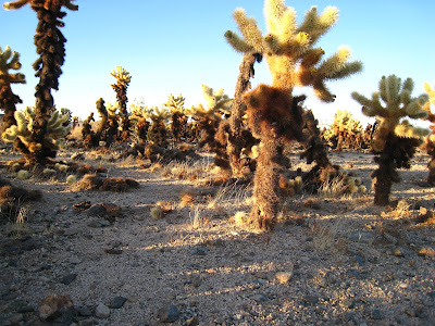 Cholla Gardens at sunset in Joshua Tree National Park California