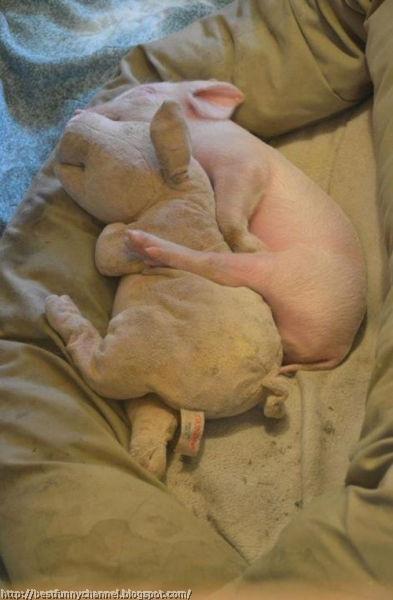 funny pig.