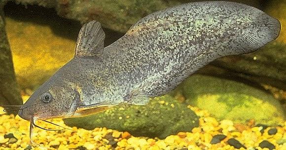Eeltail Catfish