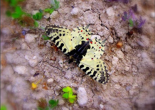 orman fisto kelebeği erkek birey kanat üstü fotoğrafı