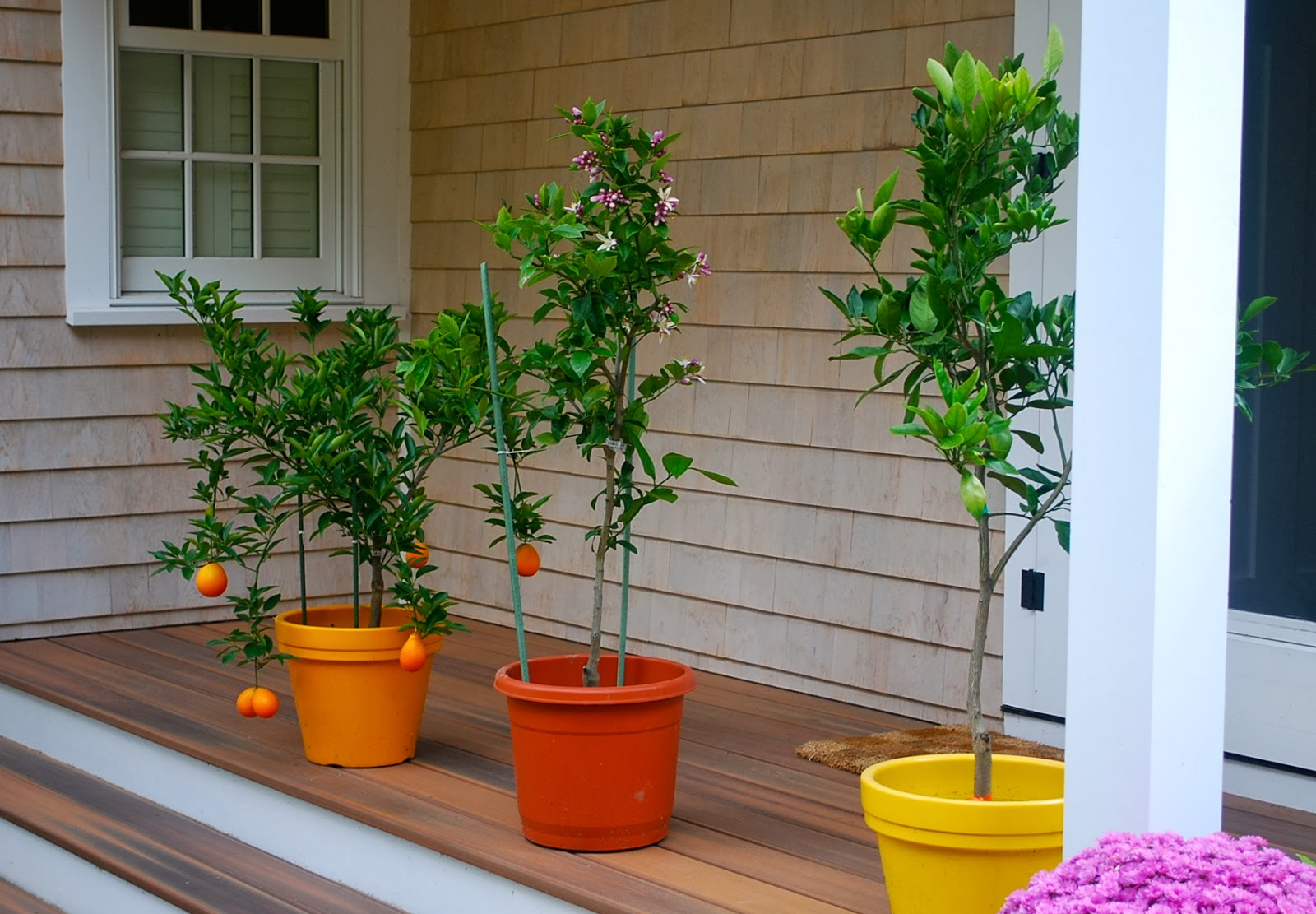 Preparing Potted Citrus Trees For Winter