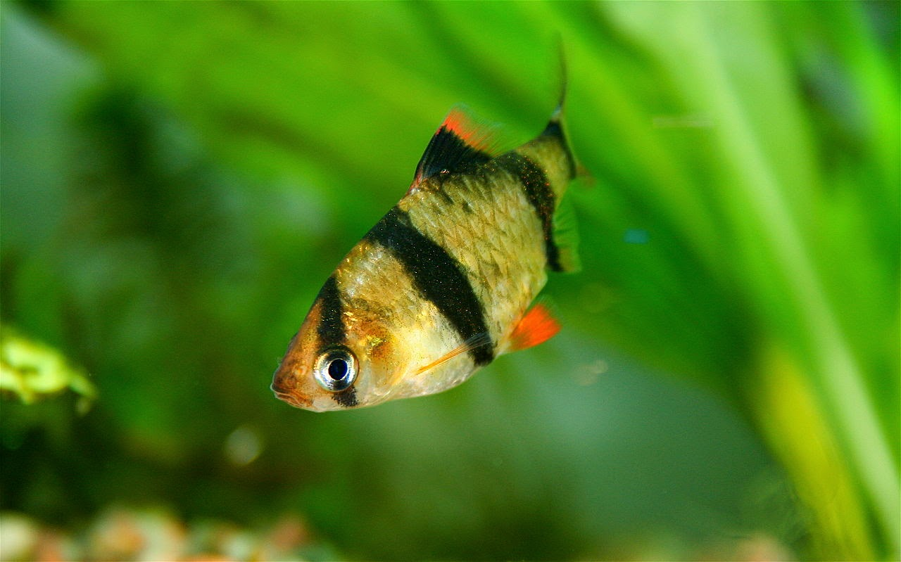 Freshwater Frenzy: 10 Facts About Tiger Barbs