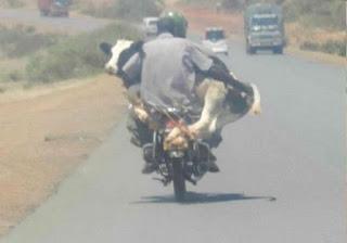 vaca en moto