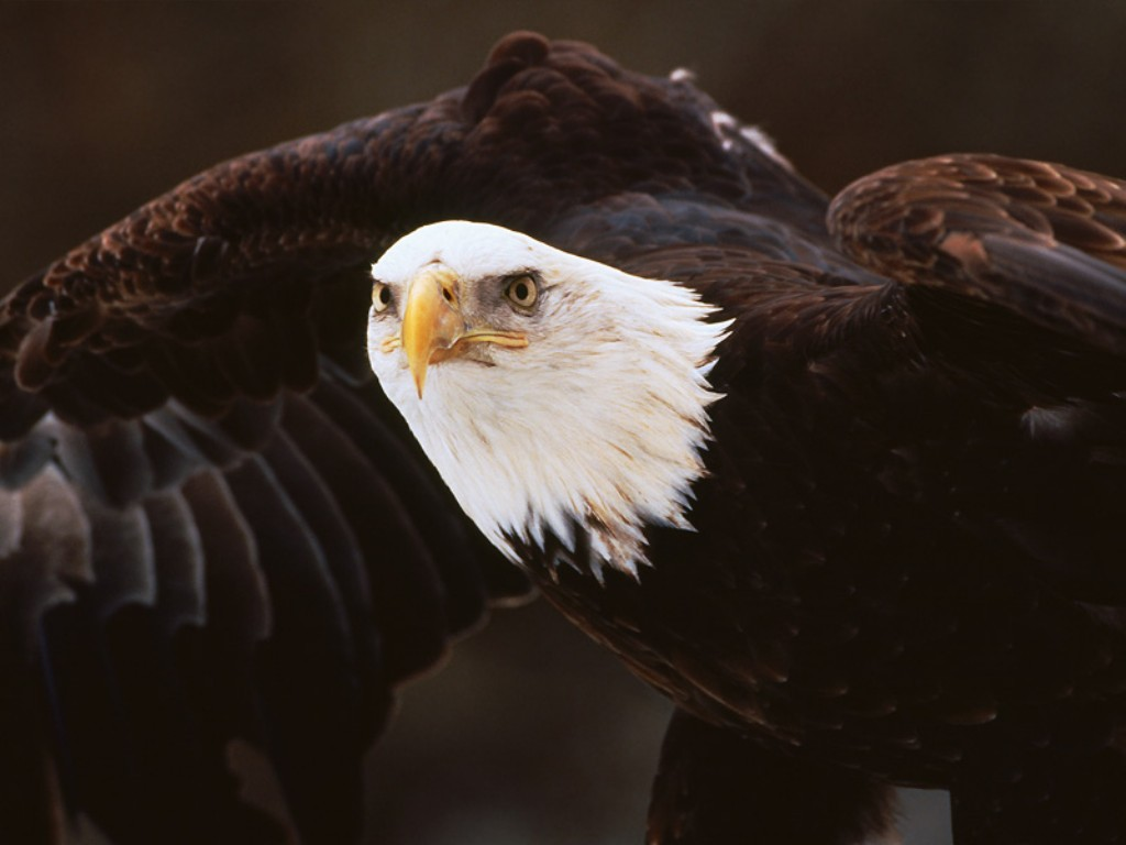 http://4.bp.blogspot.com/-n2wovmyq9tw/T3BVuq4aLEI/AAAAAAAAA34/nmlJGcsCzCQ/s1600/04-bird-wallpapers-bald-eagle-ready-for-the-attack-wallpaper.jpg