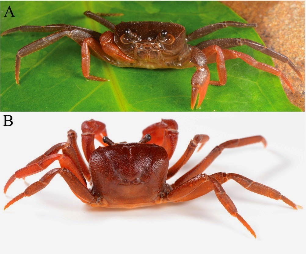 http://sciencythoughts.blogspot.co.uk/2014/08/a-new-species-of-freshwater-crab-from.html