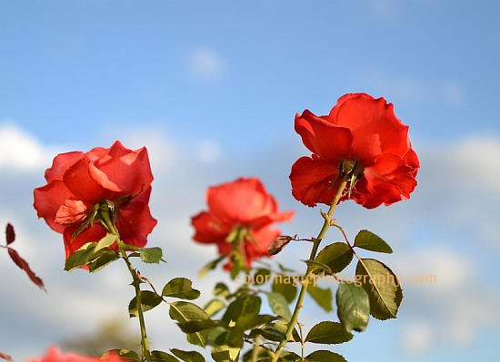 Red roses and blue sky