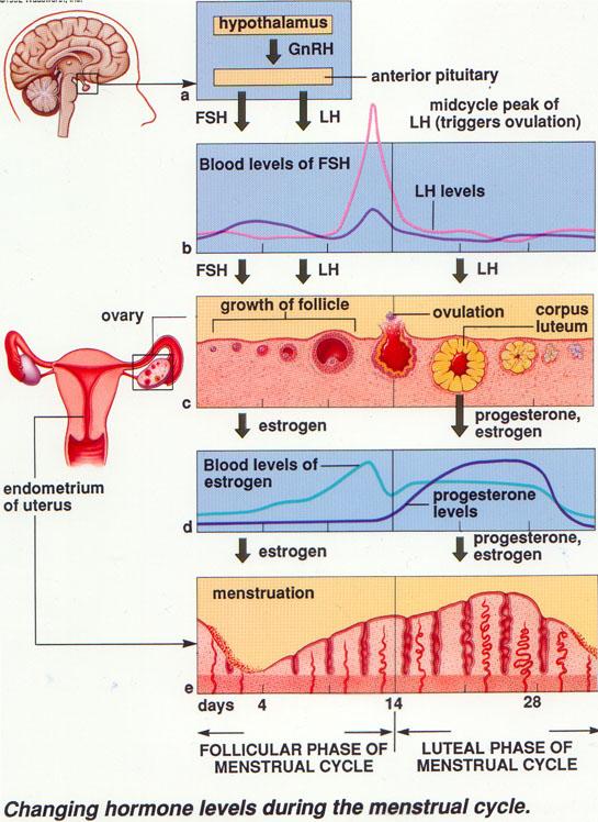 n menstruation